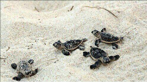 به دنیا آمدن لاکپشتهای منطقه لاوان
