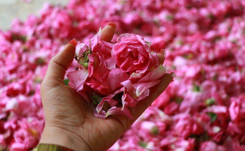 عطر گلاب در هوای کاشان