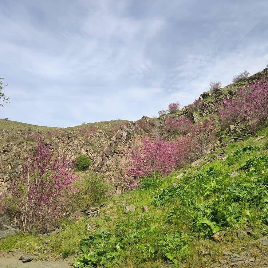 خودنمایی ارغوانها بر فراز تپه