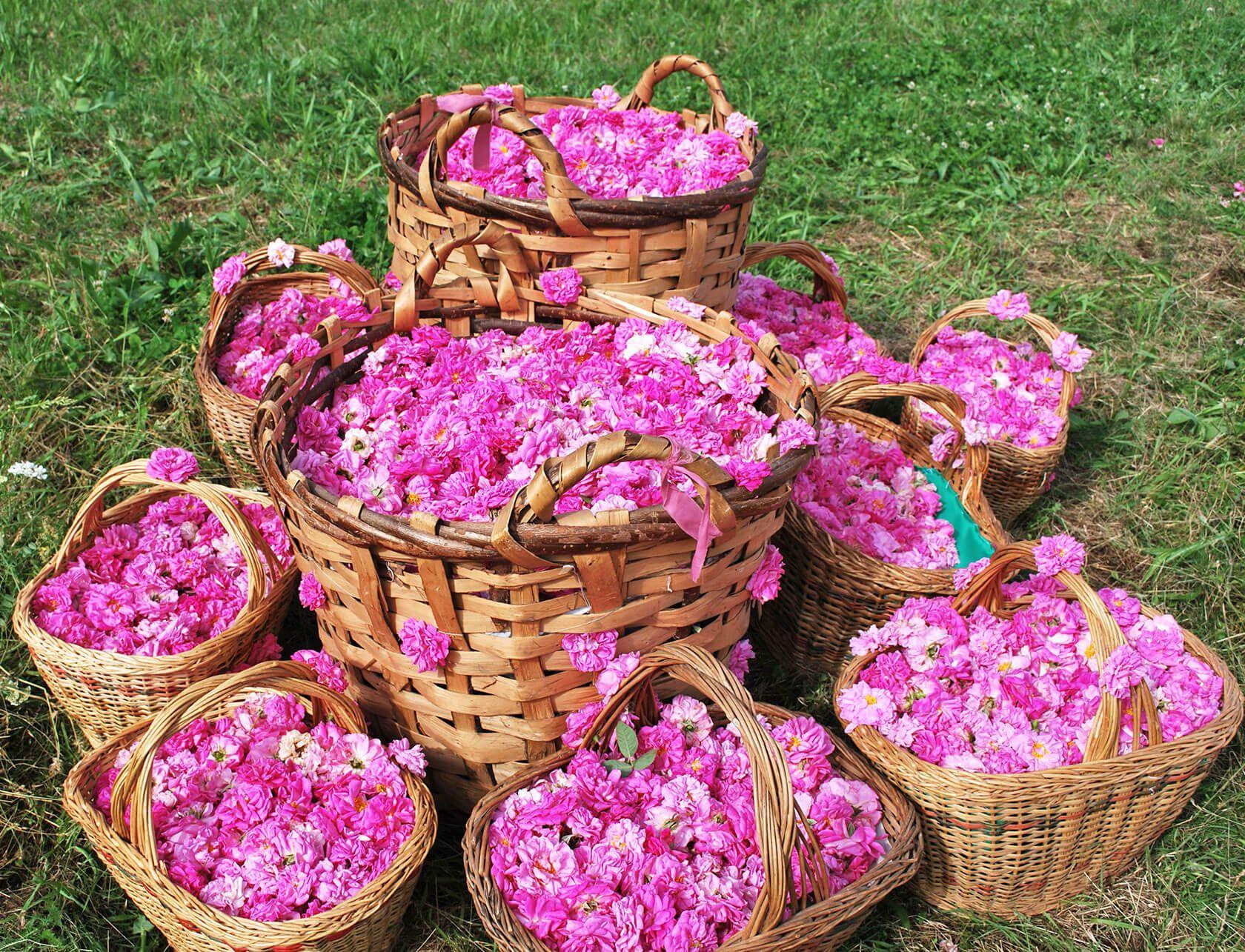 گلهای محمدی، مراسم گلاب گیری در کاشان