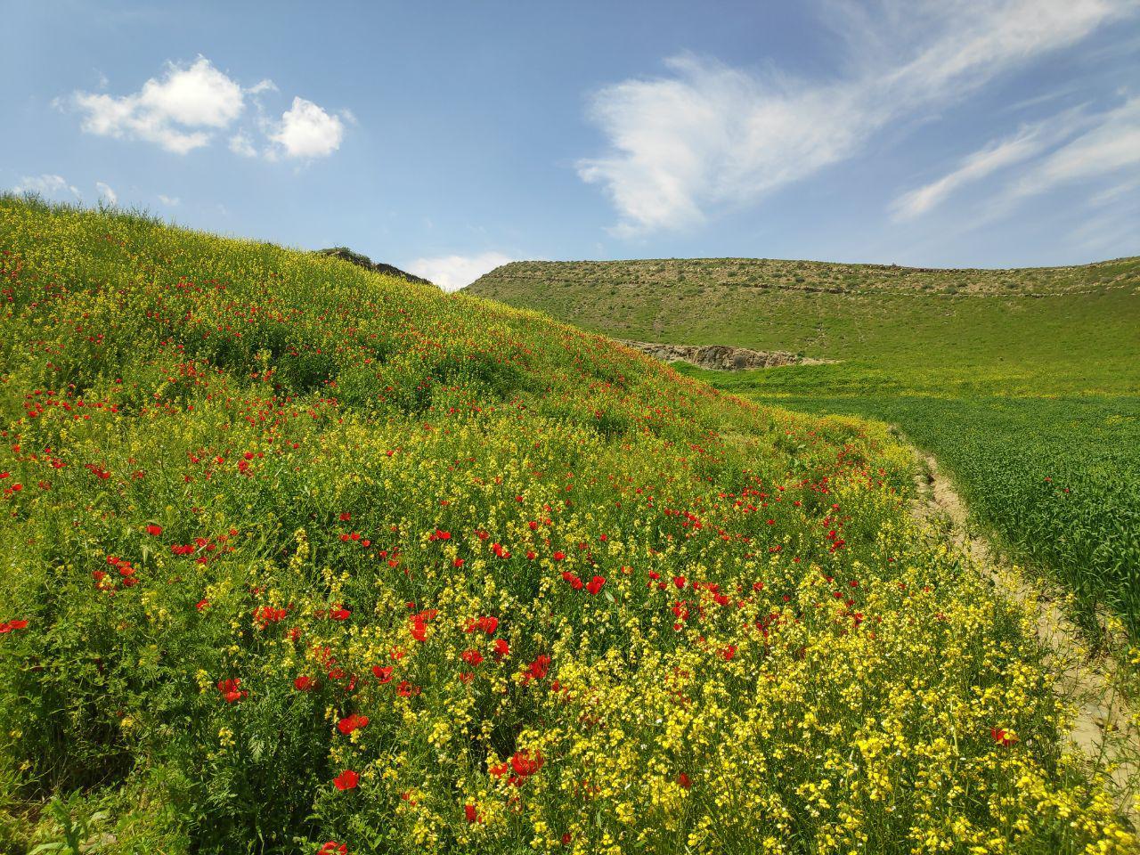 «دشتهای شقایق مسیر مشهد به کلات»