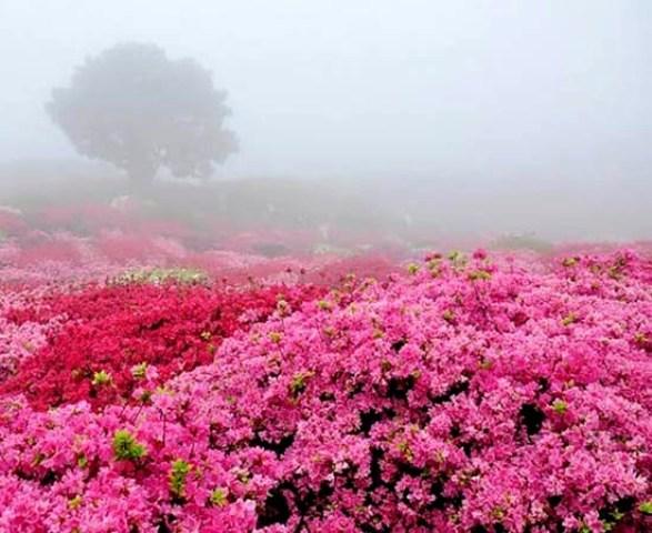گل های گلاب