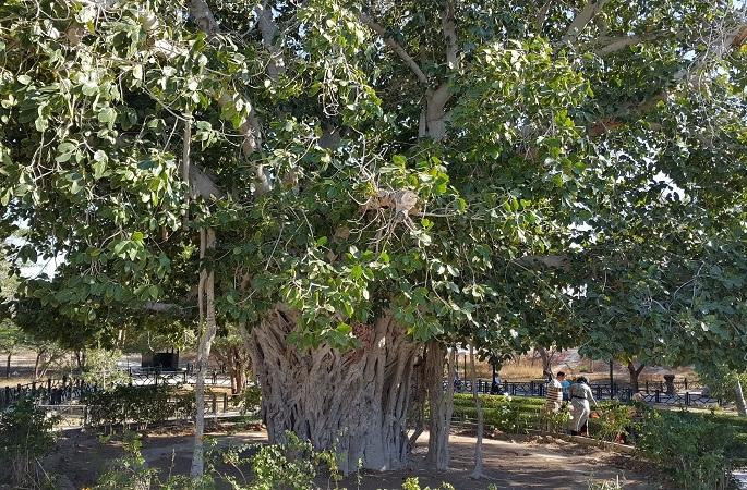 درخت سبز جاذبه 600 ساله کیش