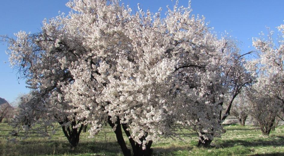 شکوفههای بادام در روستای مهارلو
