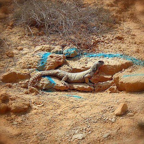 خاردم مصری ساکن در جزیرۀ هنگام