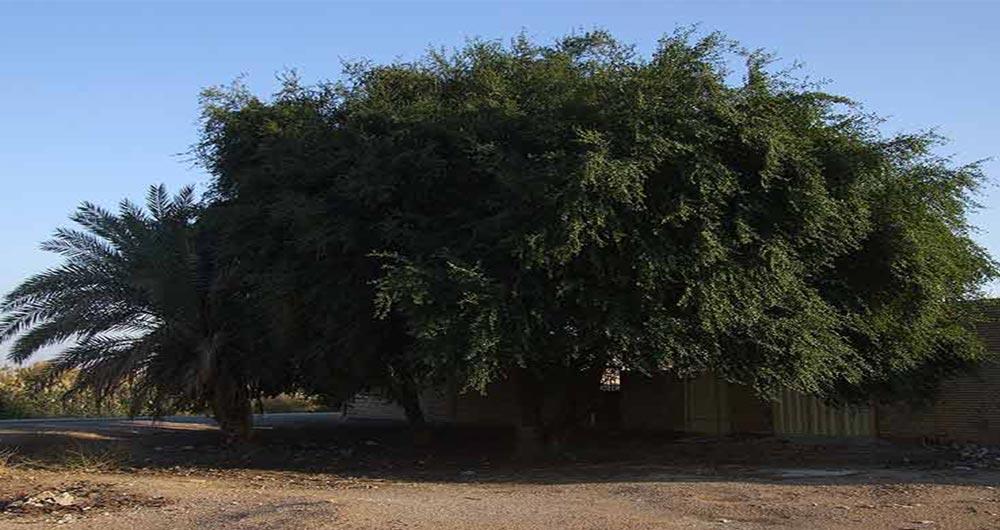 درخت سدر یا کنار