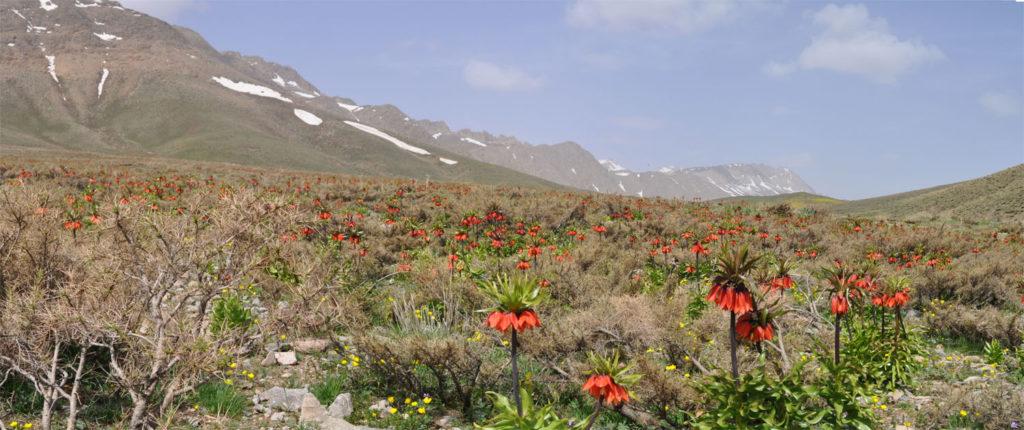 دشت لالههای واژگون واقع در منطقۀ گلستان کوه