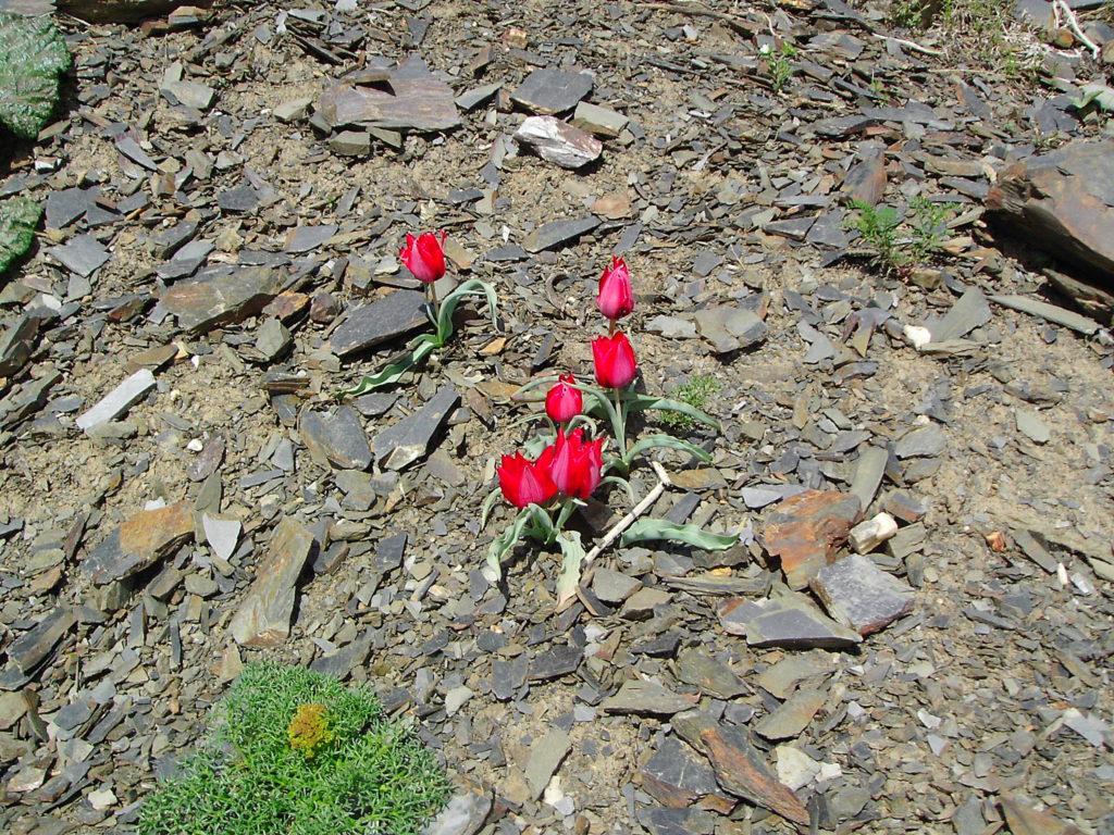 لالههای سرخ، روییده بر فراز قله چمن در حوالی روستای زشک