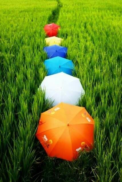شالیزارهای سبز برنج، یکی از هزاران زیبایی محصور در روستای ازباران