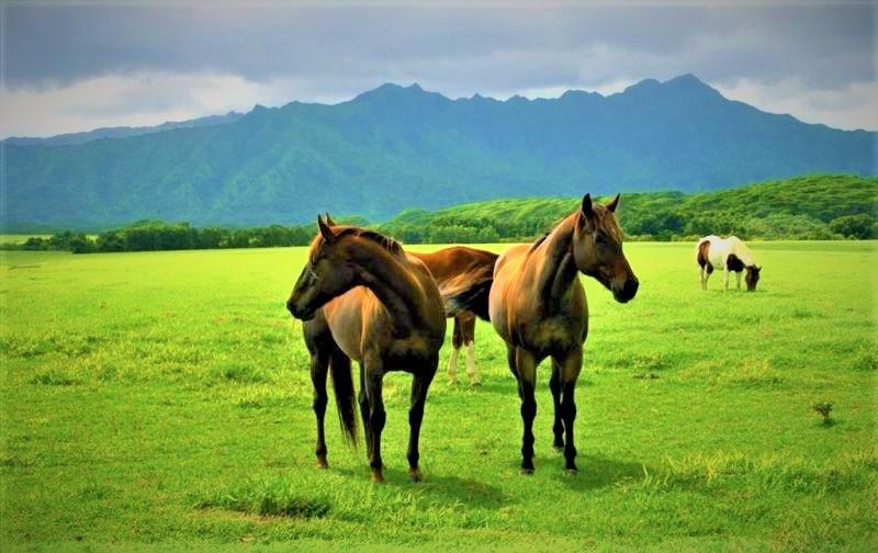 اسبهای اصیل ترکمنی در ترکمن صحرا