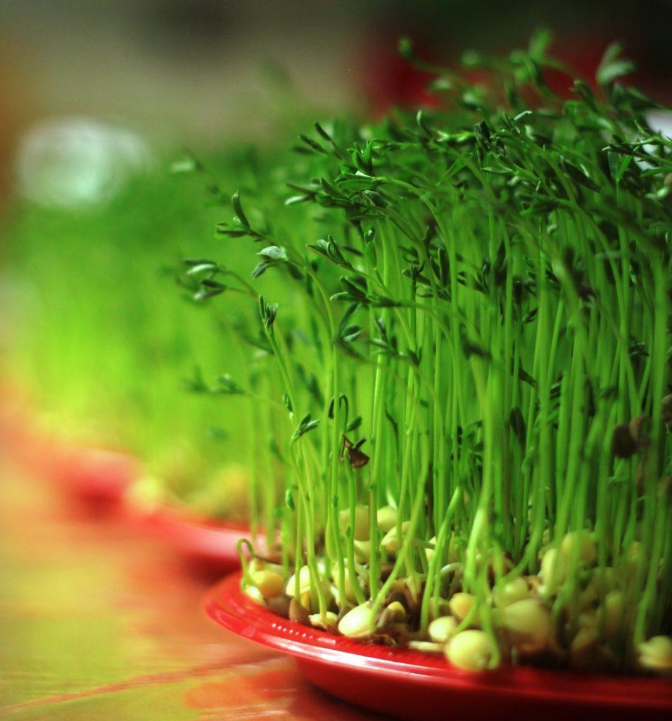 سبزۀ هفت سین سال 99 سبزترین سبزۀ سبزهها